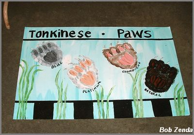 Tonkinese Paws @ Tonks West